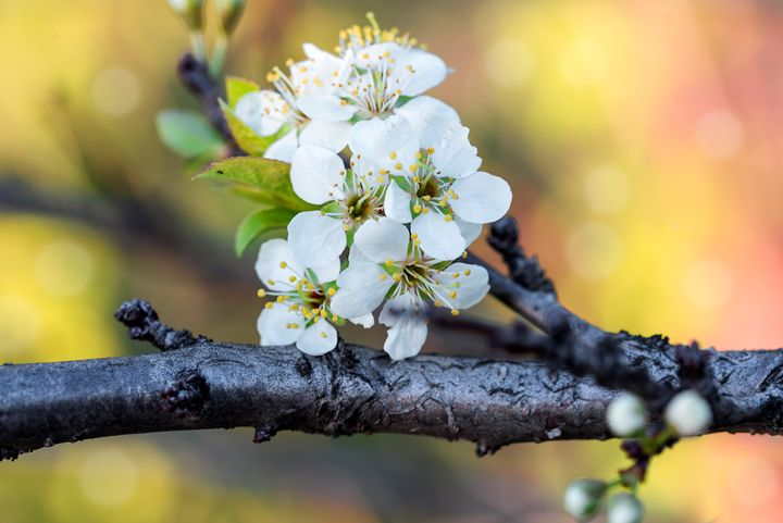 Flowering cherry branch - Dobrydnev