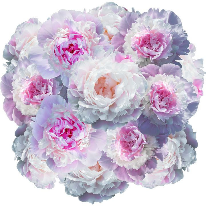 Blooming pale pink peony isolated - Dobrydnev