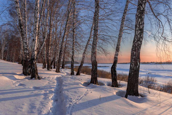 Birch trees - Dobrydnev