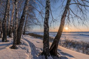 Birch trees and sunset