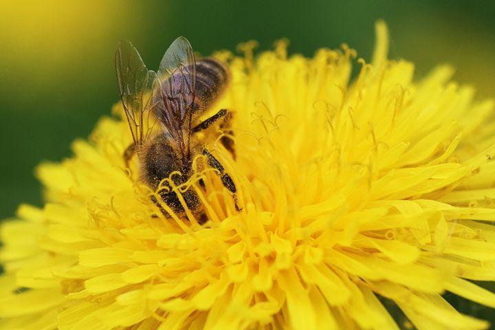Bee for harvest - Dobrydnev