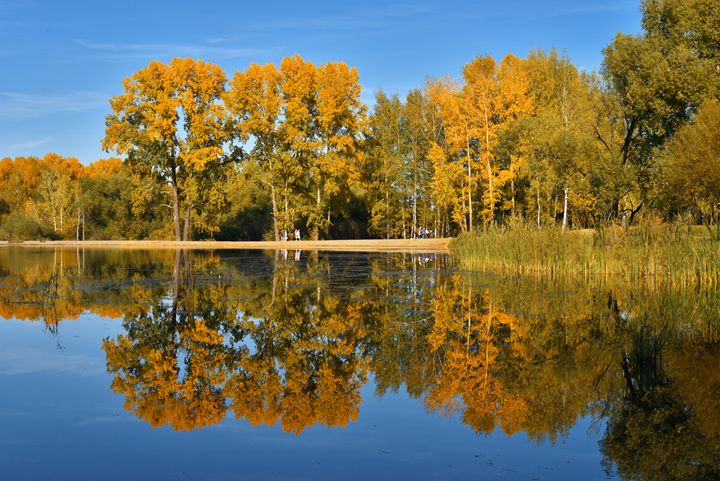Poplar trees with yellow leaves refl - Dobrydnev
