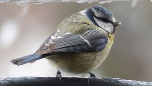 The blue Tit