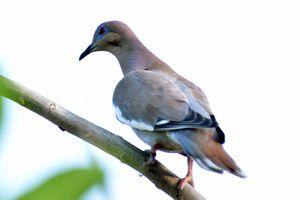 Pea Dove Three