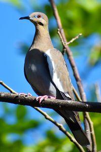 Pea Dove One
