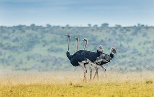 Ostriches - Fly Eye