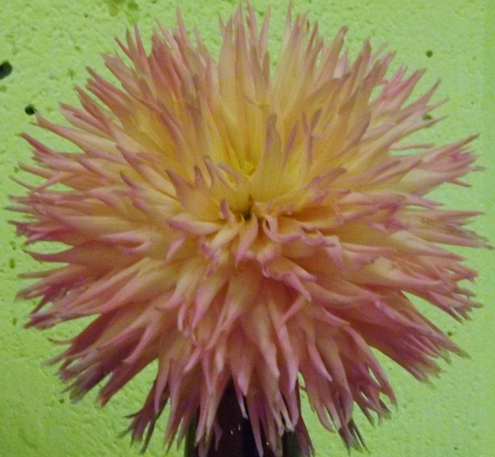 Delicate Pink Fireworks Dahlia - Journey On Gallery