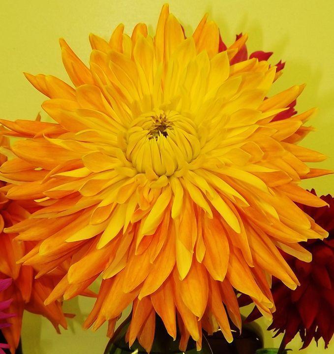 Yellow-Orange Dahlia - Journey On Gallery