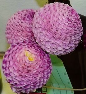 3 Purple Dahlias