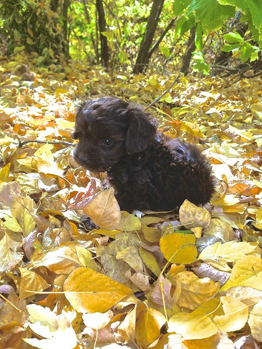 Toby in Fall leaves - Toby
