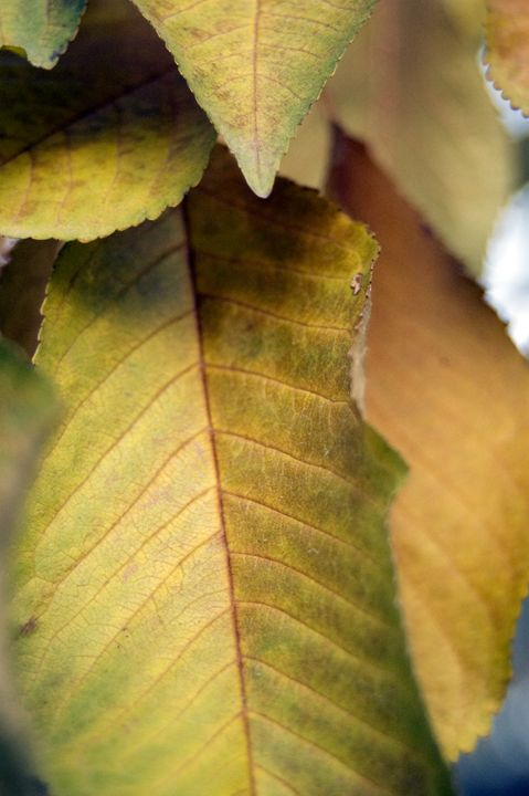 Autumn Leaves - Brie A. Edwards Photography