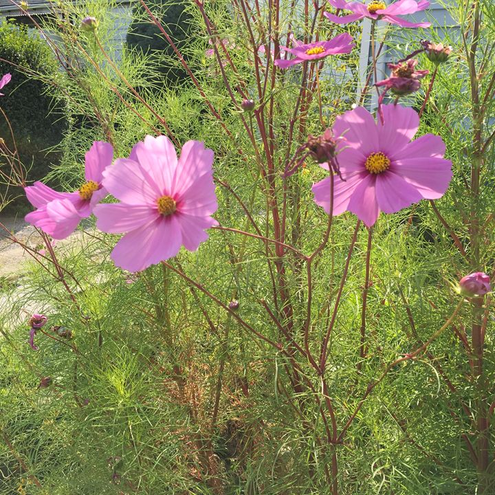 Pink flowers in garden - Cassandra Lewis