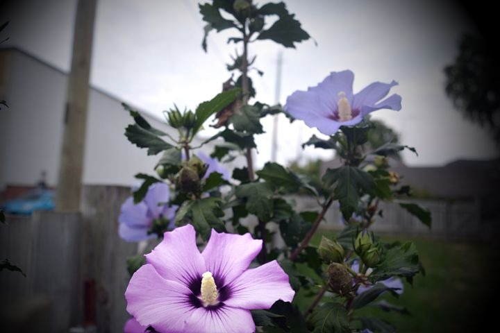 Purple and pink flowers - Cassandra Lewis