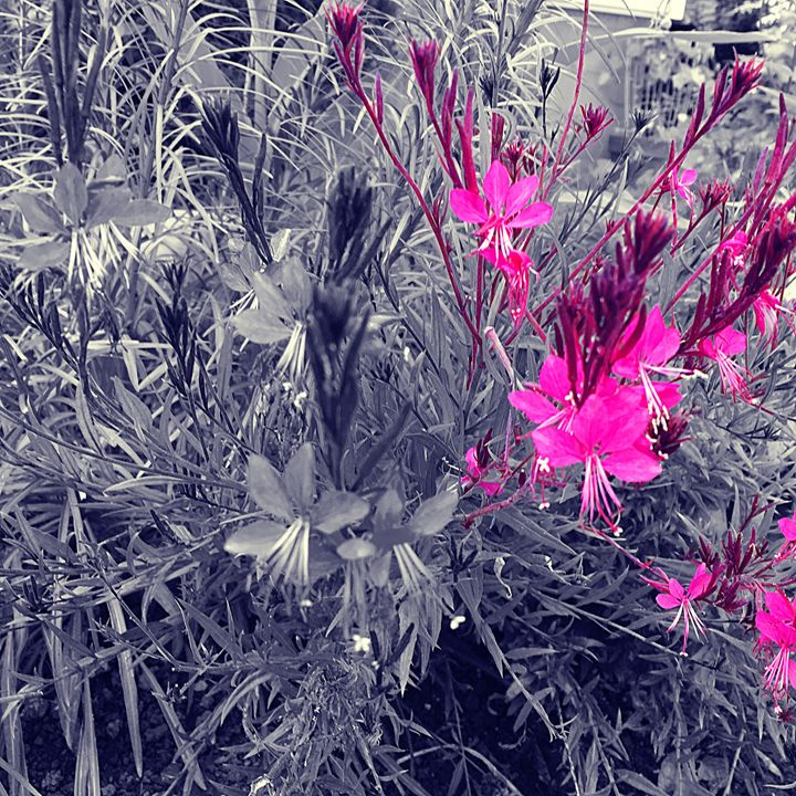 Pink flowers black and white - Cassandra Lewis