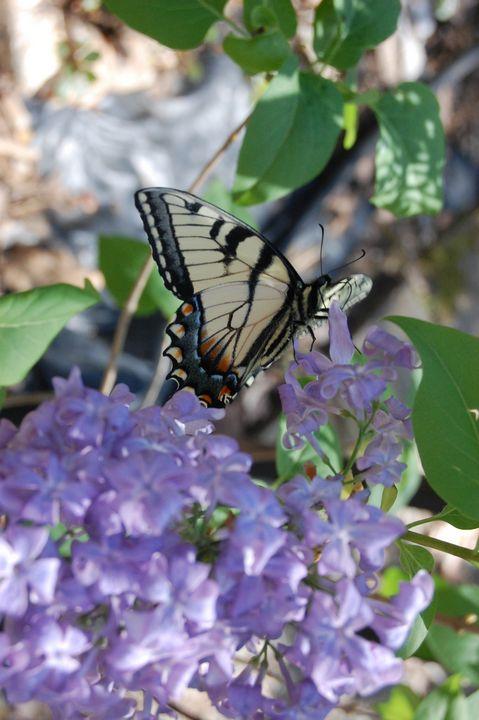 Monarch Butterfly - MckinleyArt
