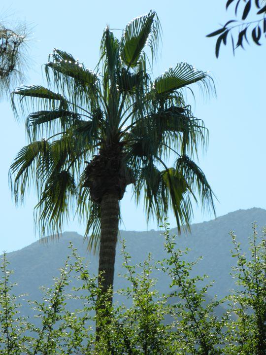 Silver tipped Palm Tree - Snobyrdz Photoart