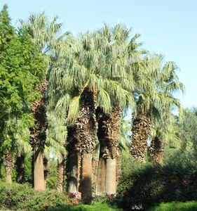 Desert Oasis Palms