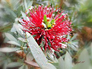 Wet Mimosa
