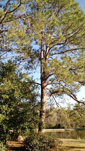 Great Georgia Pine