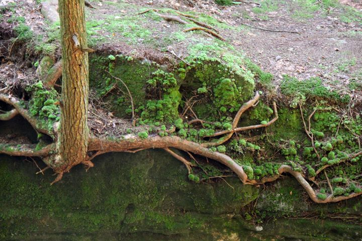Tree roots in the rocks - Wendy Theisen Halsey Photography