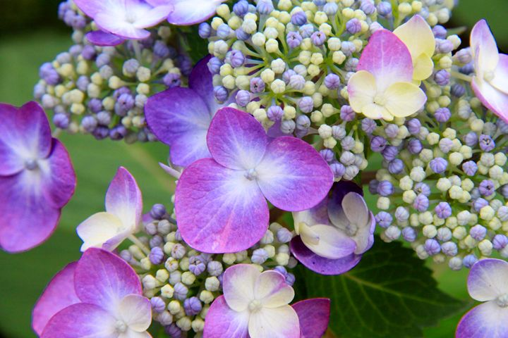 Hydrangea - Wendy Theisen Halsey Photography