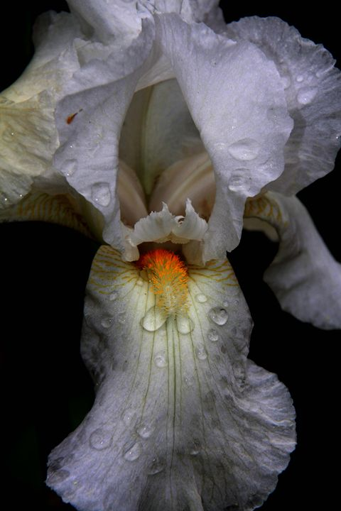 Iris - Wendy Theisen Halsey Photography