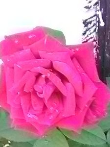 Natural rose garden