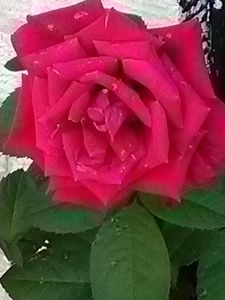 Red natural rose