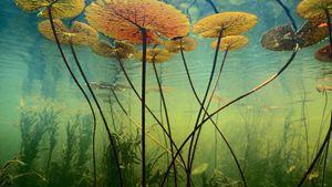 Water Lilies Botswana Africa Free De