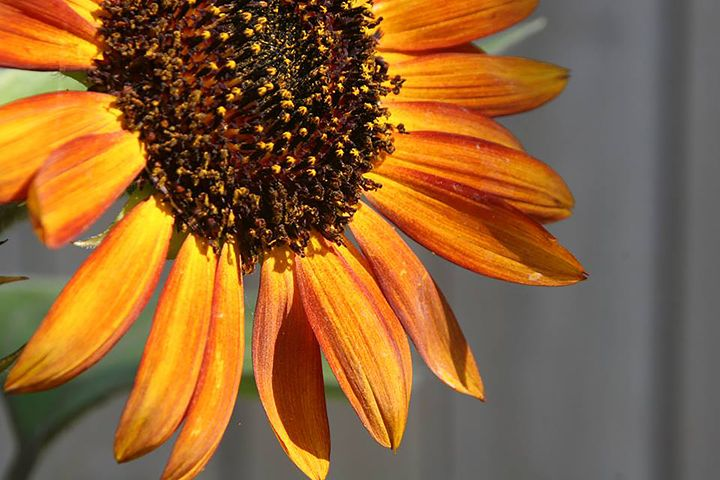 Summer Sunflower - Michael Hayes
