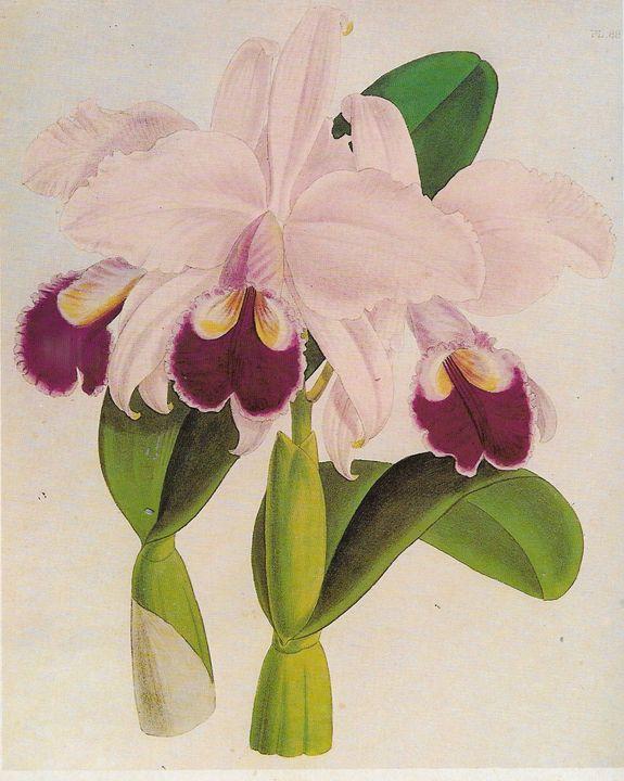 Cattleya lebiata - Rene art