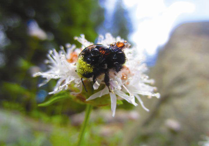 A Bumbled Bee - Yosemite Jade