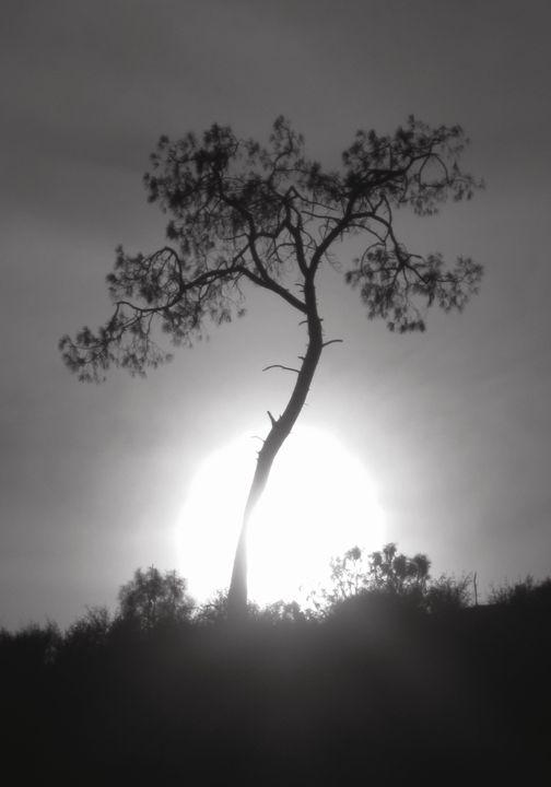 Black and White and Gray Pine - Yosemite Jade