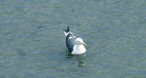 Swimin' Seagull