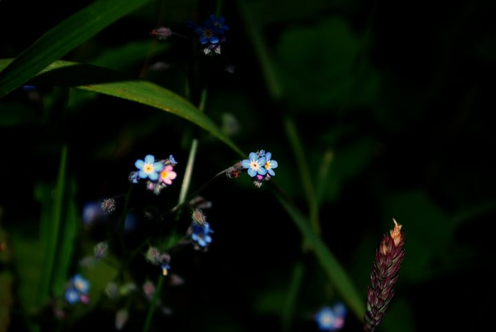 Delicate Blue Flowers - Chloë Blackwell