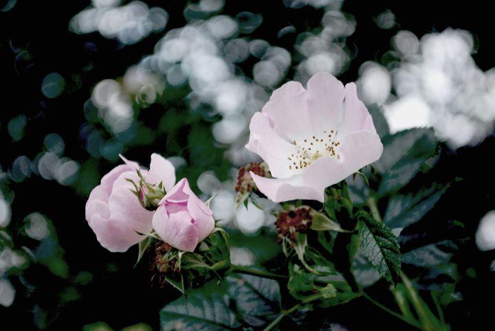 Pretty Pink Flowers - Chloë Blackwell