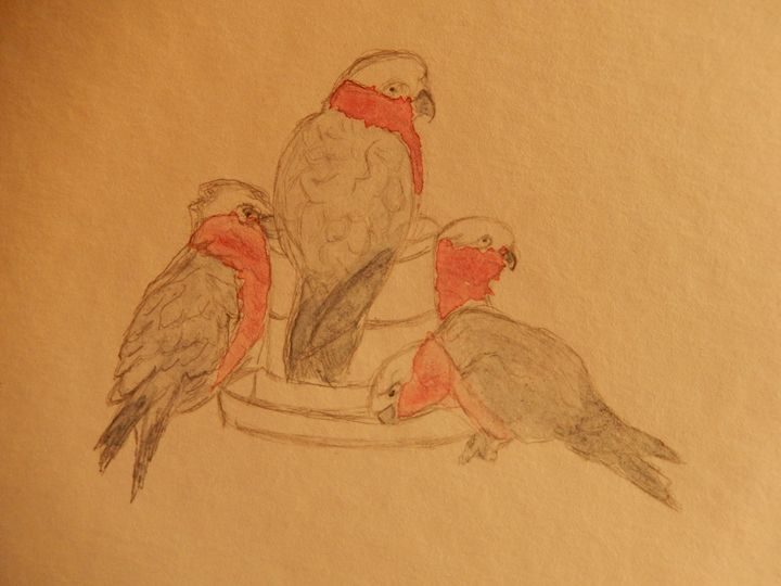 galahs feeding - Islay's Inspirations