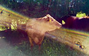 Cow with a sun wave