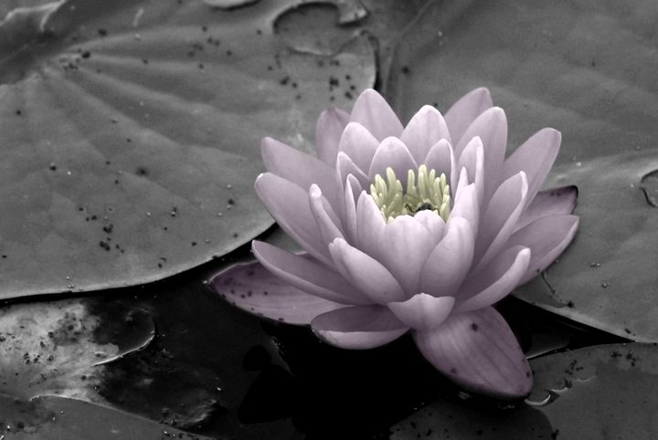 Pink Water Lily - Colleen G. Drew Photography