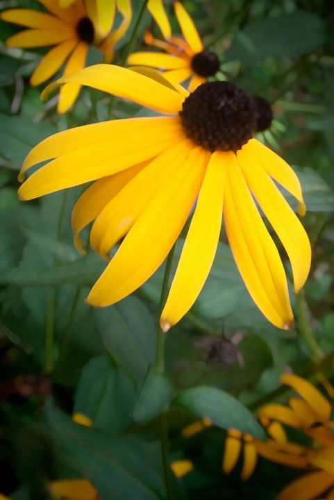 Black Eyed Susan - Colleen G. Drew Photography
