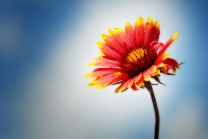 Indian Blanket - Colleen G. Drew Photography