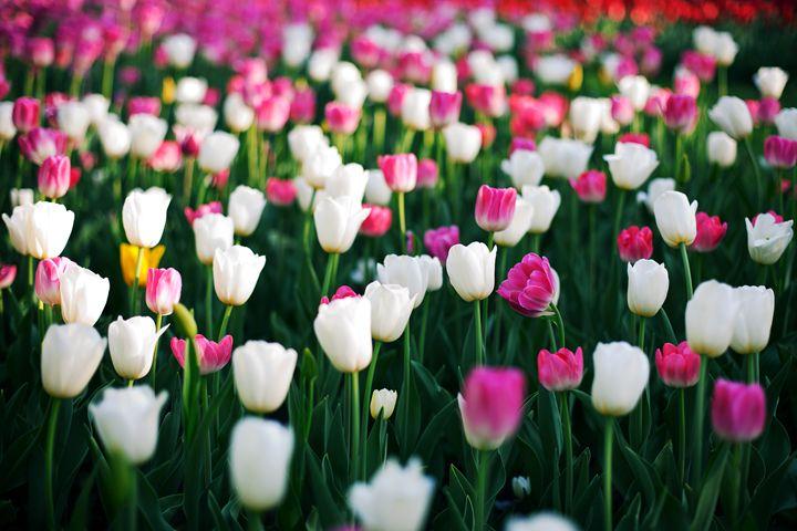 Blooming tulips - Anton Popov