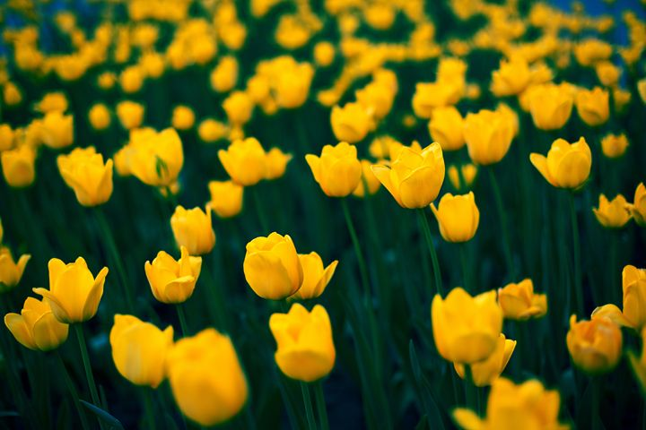 Blooming tulips 2 - Anton Popov
