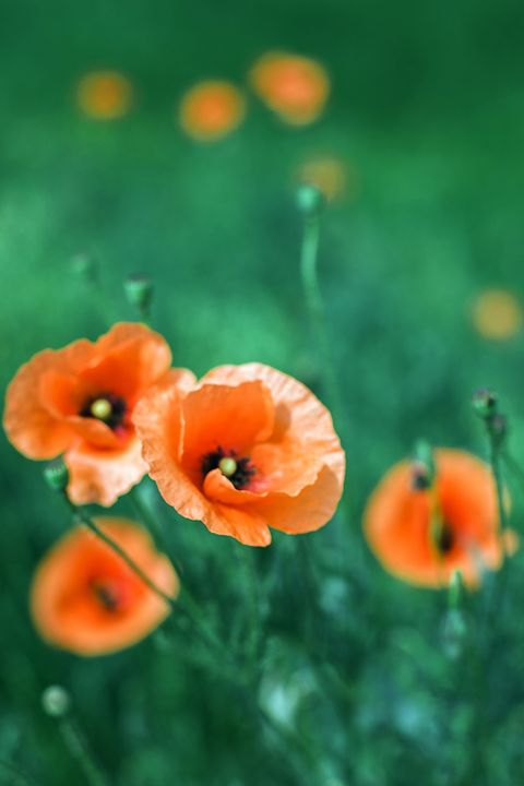 The Poppy flowers close-up - Anton Popov