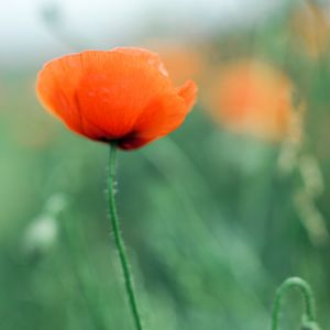 Blooming poppy