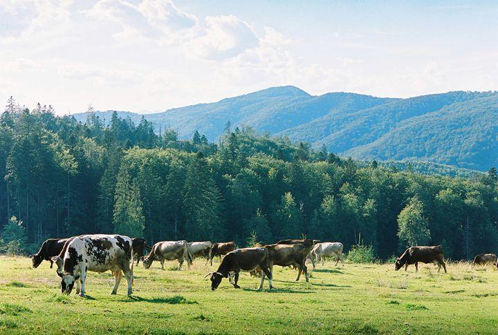 Cows 2 - Anton Popov