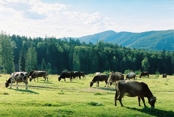 Cows grazing on a meadow - Anton Popov