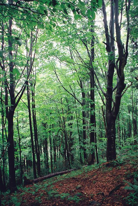 Beech forest - Anton Popov