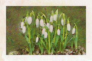 Snowdrops - Cathleen Cawood
