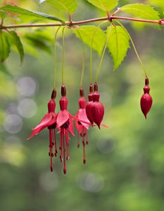 Fuchsia - Blossoms